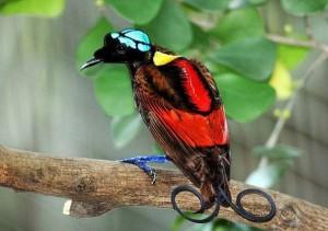 райская птица